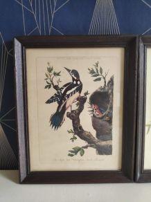 lithographies oiseaux Gould et Hart encadrement en bois