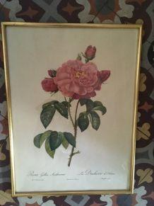 Planche botanique de Redouté.