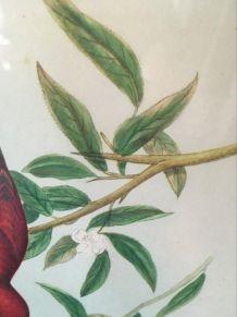 Planche ornithologique J Gould & Richter.