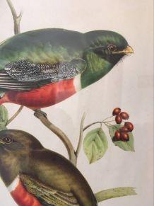 Planche ornithologique J & E Gould .