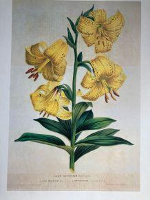 Affiche botanique Lys jaune