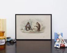 Lithographie gravure singe vintage - 1850