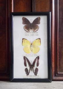 Cadre papillons naturalisés - Thailande