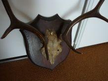 trophée massacre bois de cerf sur écusson chene vintage 1920