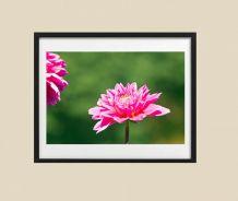 Photographie de fleurs dahlia rose fichier à télécharger.