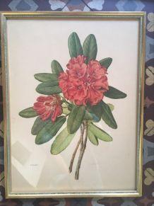 Planche botanique Rhododendron Hookeri par Riefel.