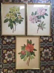 Planche botanique Rhododendron Wardii par Riefel.