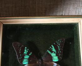 Cadre papillon sous verre