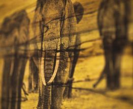 Bois Flotté Photowood éléphant