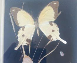 Vitrine Papillons et scarabées naturalisés Entomologie