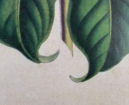 Affiche botanique Fuchsia à fleurs de lilas