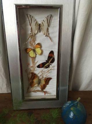 Papillons naturalisés dans un cadre ,années 70 .