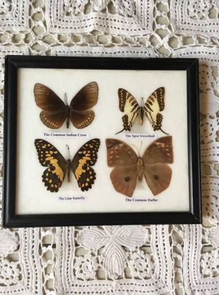 Cadre de quatre papillons de Thailande naturalisés.