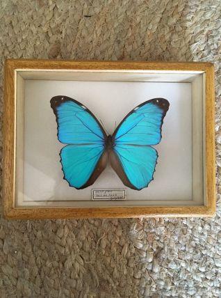 Papillon morpho naturalisé sous verre encadré.