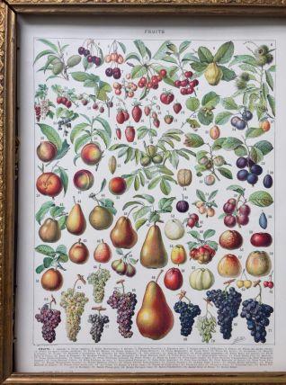 Illustration Millot Fruits