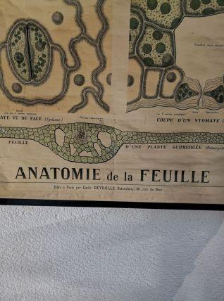 Carte deyrolle numéro 57 anatomie de la feuille