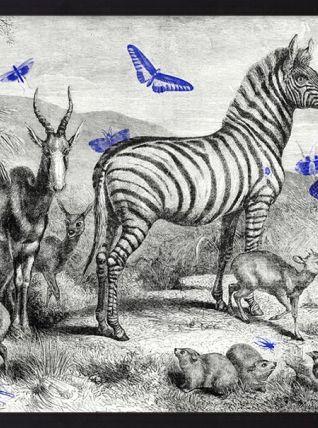 Gravure illustration zèbre - jardin d'acclimatation 1850