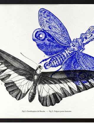 Gravure lithographie papillon insecte