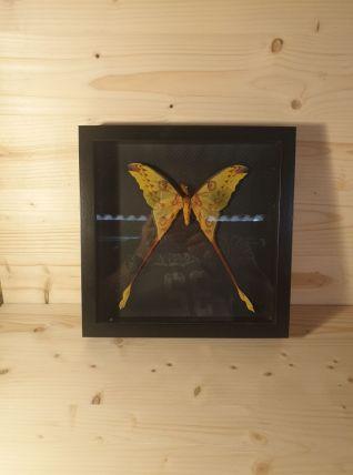 Papillon comète