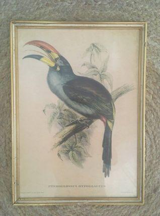 """Planche ornithologique """" Pteroglossus Hypoglaucus"""" J&E Gould"""