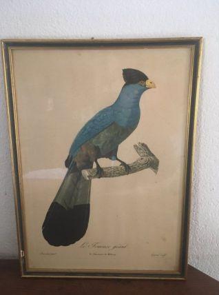 """Planche ornithologique""""Le Touraco géant"""" par Barrabant."""