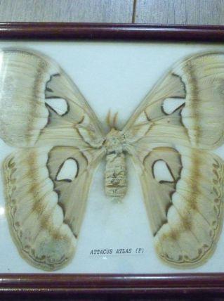 Papillon ssous cadre.