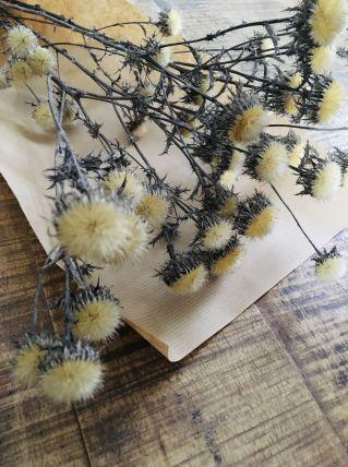 Fleurs séchées naturelles chardons