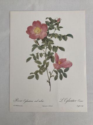 Lithographie PJ Redouté