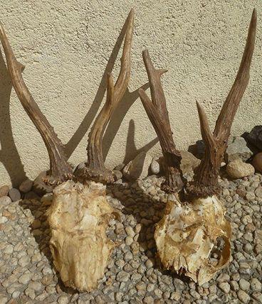 lot de cornes  de  chevreuils, anciennes
