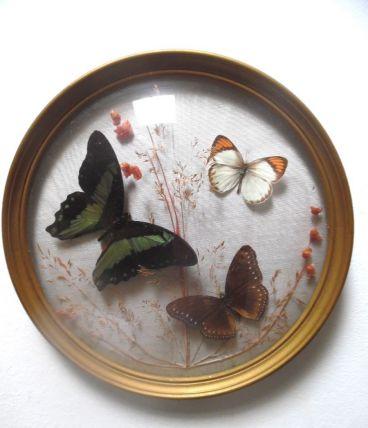 cadre bombé ,papillons naturalisés