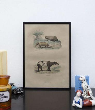 Lithographie gravure paresseux et tapir vintage - 1850