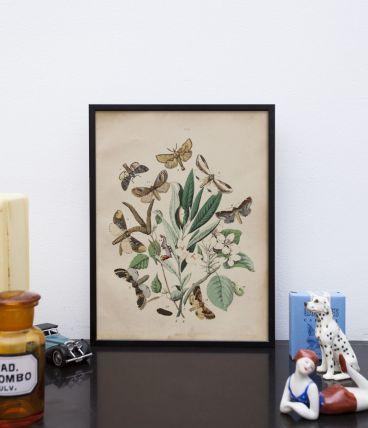 Lithographie gravure papillons vintage - 1850