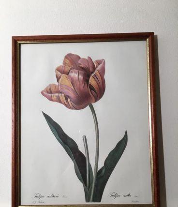 Reproduction de PJ REDOUTÉ « Tulipe cultivée »